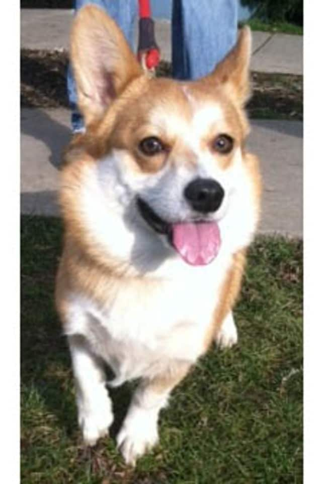 Einstein, a corgi, is one of many adoptable pets available at the SPCA of Westchester in Briarcliff Manor.