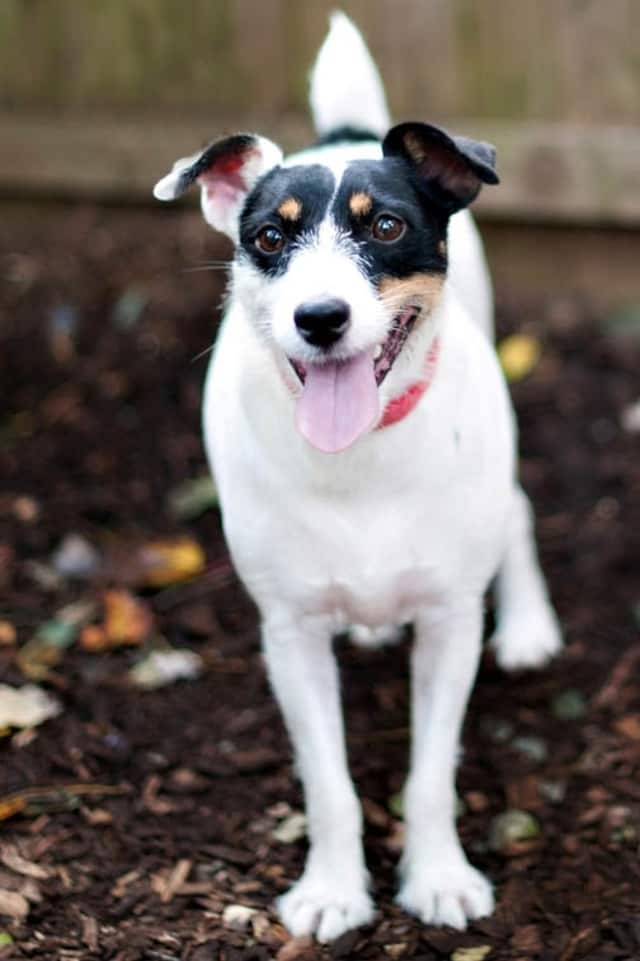 Maxi, a Jack Russell, is one of many adoptable pets available at the SPCA of Westchester in Briarcliff Manor.