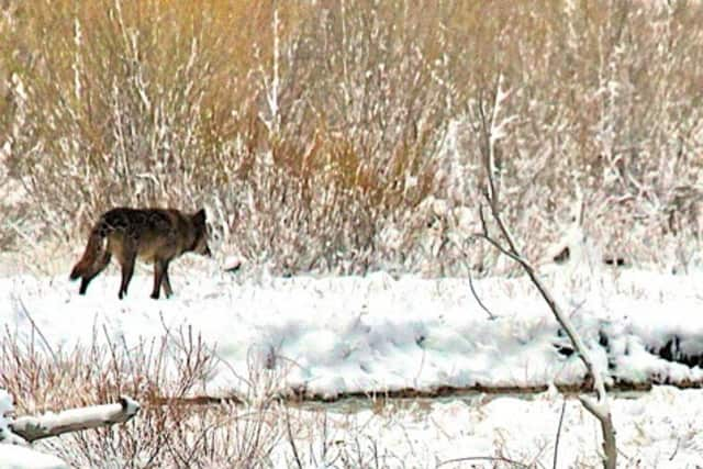 """The Wolf Conservation Center will host its """"Winter Wolves"""" program this weekend."""