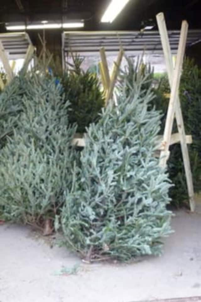 Trumbull residents can drop off their Christmas trees at the Trumbull Transfer Station on Spring Hill Road. The town will not be picking up trees curbside this year.