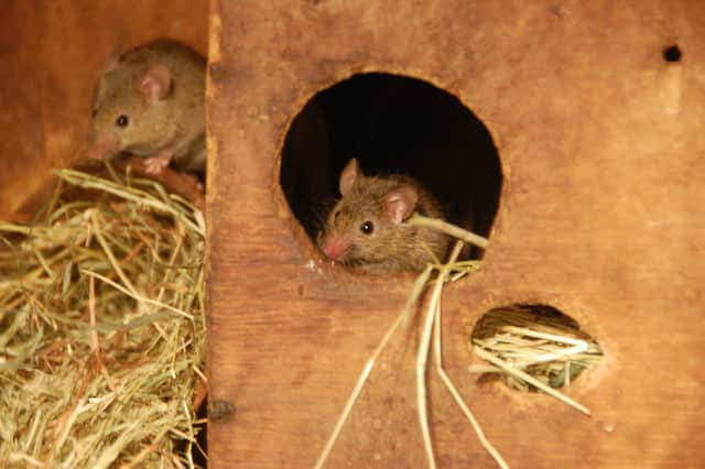 Pest control agencies said calls for rodents have increased more than 10 percent in Ossining and Briarcliff Manor since Hurricane Sandy.