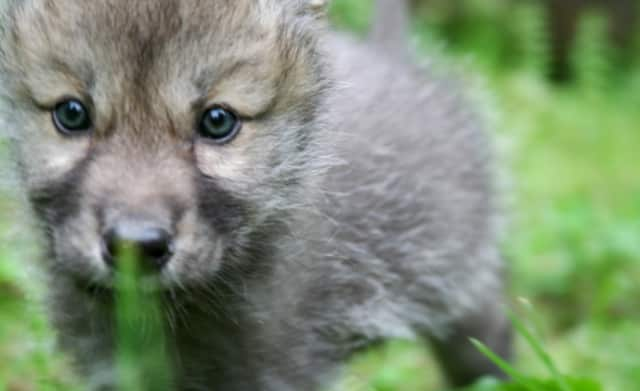 Alawa was just a pup when she arrived at the Wolf Conservation Center in the summer of 2011. Now she's one of the organization's ambassador wolves.