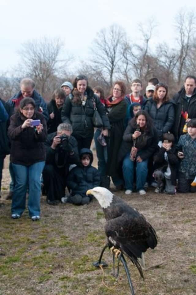 Teatown's Hudson River Eaglefest in Ossining is one of the highlights of this weekend's events in Ossining and Briarcliff Manor.