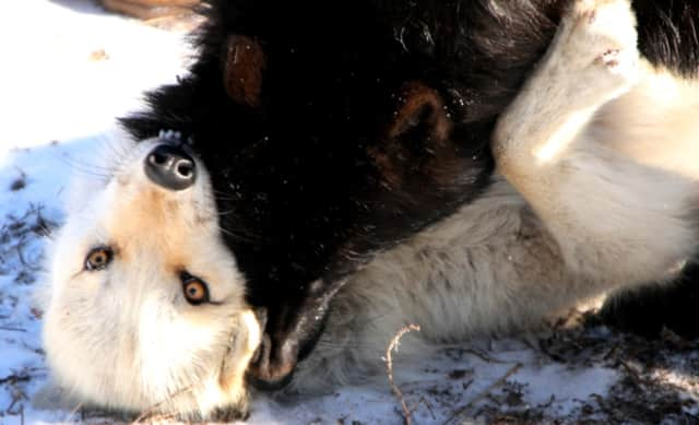 Love is in the air at the Wolf Conservation Center