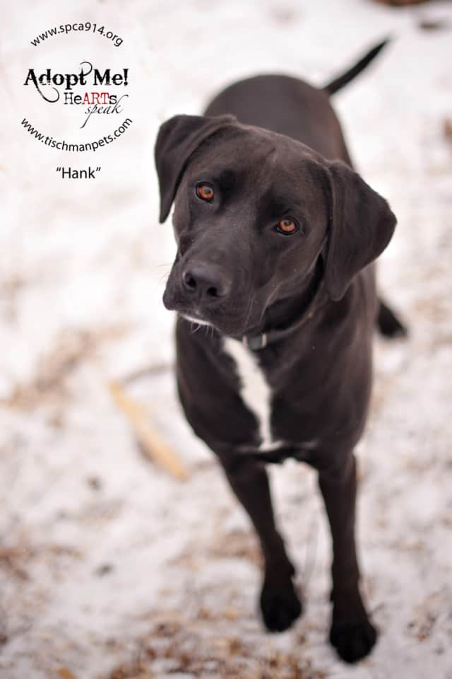 Hank, a Labrador mix, is one of many adoptable pets available at the SPCA of Westchester in Briarcliff Manor.