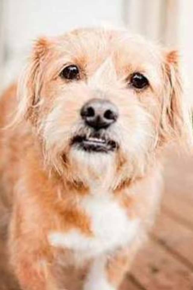 Abby, a terrier mix, is one of many adoptable pets available at the SPCA of Westchester in Briarcliff Manor.