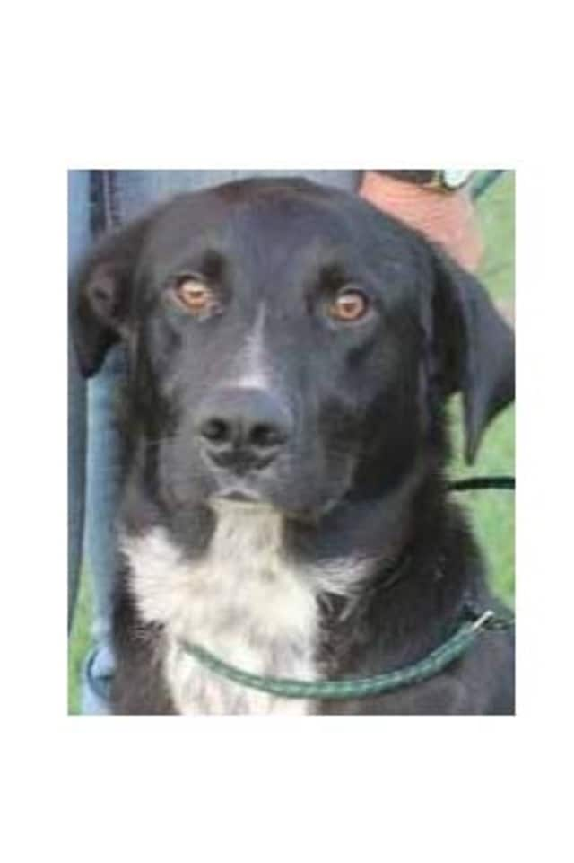 Buddy, a lab/border collie mix, is one of many adoptable pets available at the SPCA of Westchester in Briarcliff Manor.
