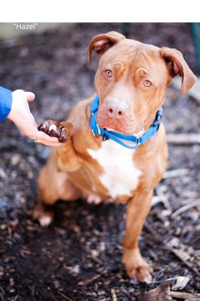 Hazel is one of many adoptable pets available at the SPCA of Westchester in Briarcliff Manor.