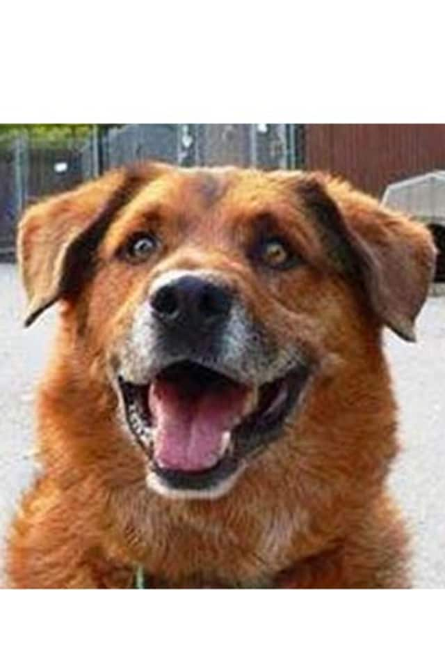 Max, a shepherd/lab mix, is one of many adoptable pets available at the Putnam Humane Society in Carmel.