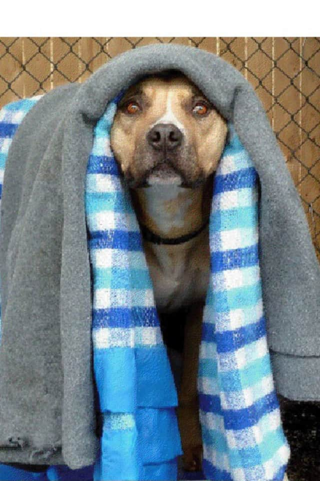 Tiger, a lab/pitbull mix, is one of many adoptable pets available at the Putnam Humane Society in Carmel.