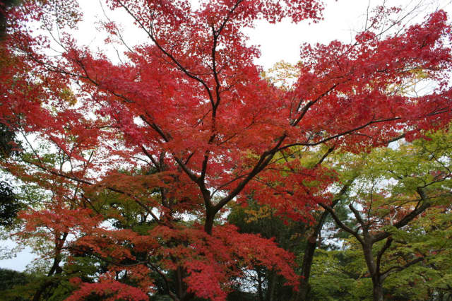 Mariani Gardens in Armonk, which sells Japanese Red Maples like this one, was featured in the New York Times.