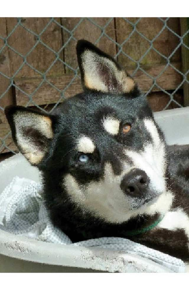 Brigham, a husky, is one of many adoptable pets available at the Putnam Humane Society in Carmel.