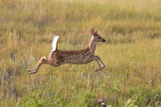 Rye has decided that it will not use bow hunters to deal with deer overpopulation, and is currently considering other options.
