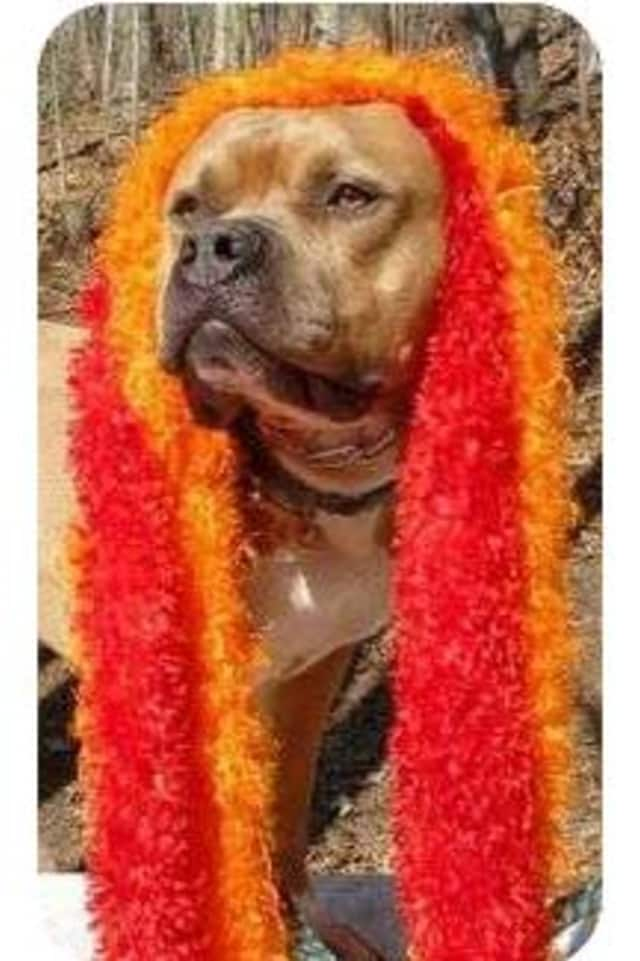 Rex, a mastiff/pit bull mix, is one of many adoptable pets available at the Putnam Humane Society in Carmel.