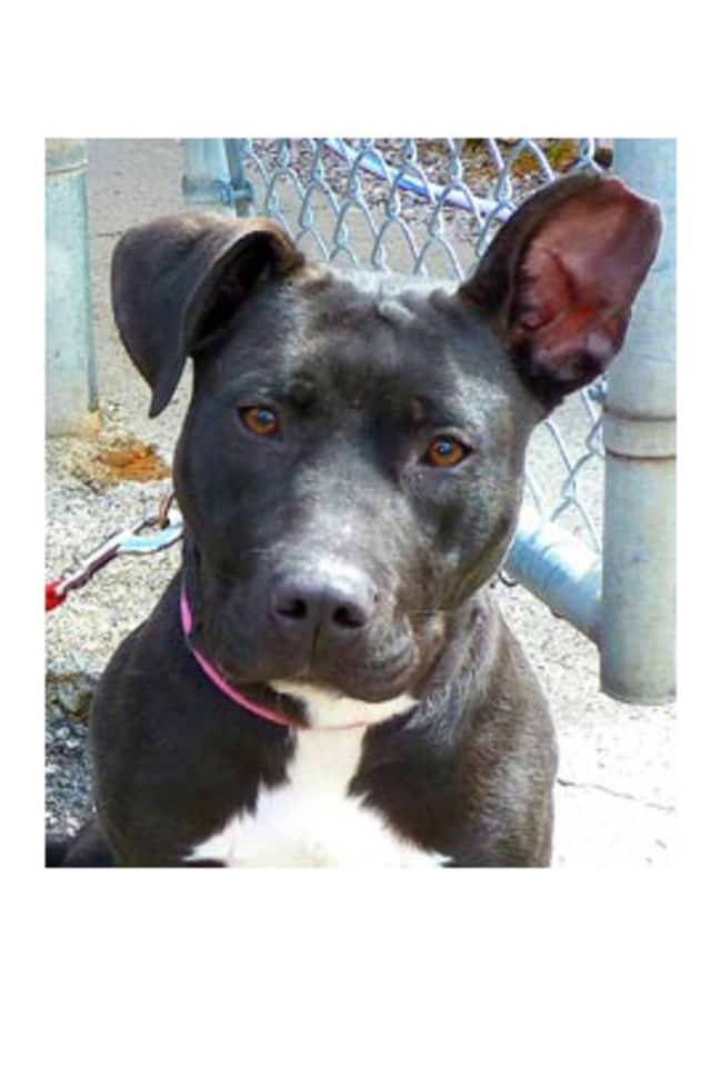 Crystabell, a pitbull, is one of many adoptable pets available at the Putnam Humane Society in Carmel.