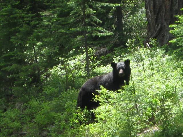 Yorktown Police confirmed that a resident reported seeing a black bear near a home on Evergreen Street Thursday morning.