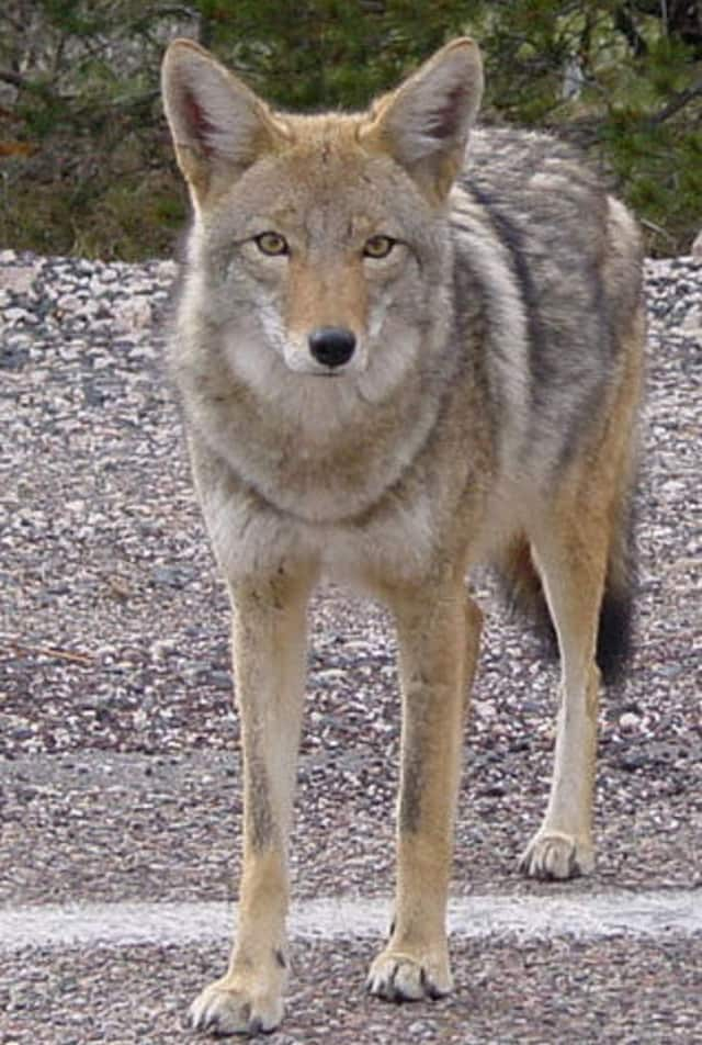 Recent coyote attacks in Chappaqua have many residents on edge.