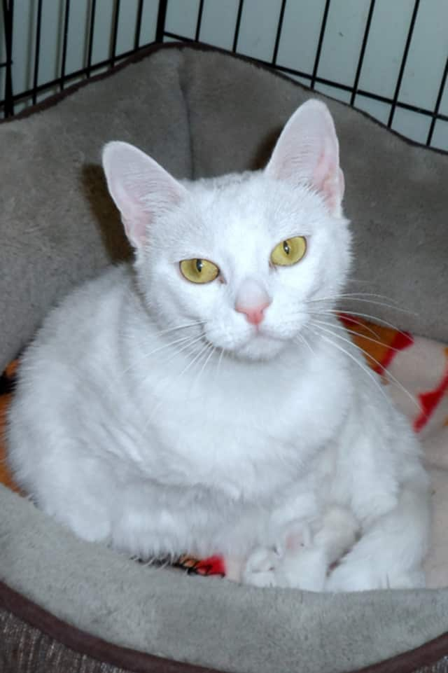 Meet Sky, one of the cats available for adoption at Animals in Distress in Wilton.