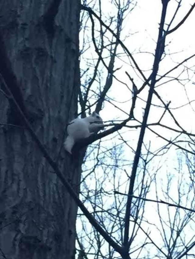 Diego Lema of Norwalk spotted this rare white squirrel up a tree at Flax Hill Park in the city.