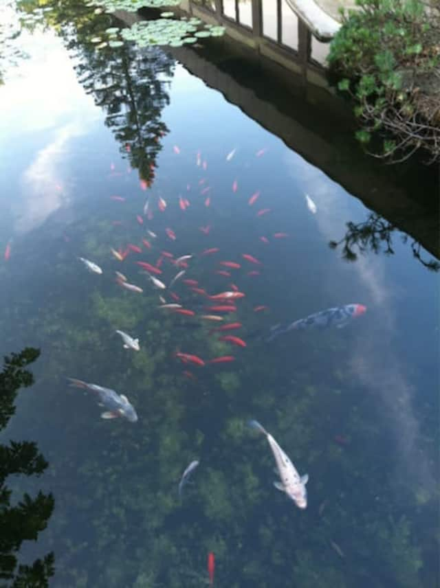 SPCA officials said the Koi pond at Gasho of Japan Hibachi Steakhouse is being cared for.