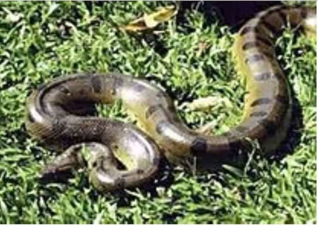 A 9-foot long anaconda snake is on the loose on Long Island.