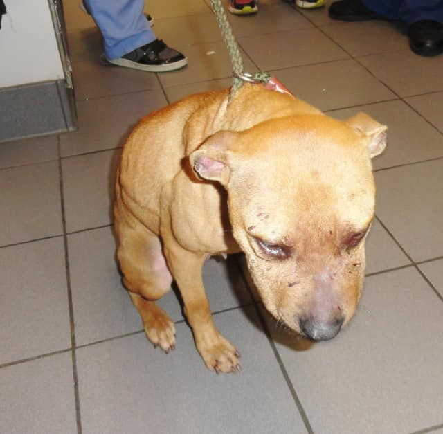 An emaciated pit bull that authorities say was found battling over food in the backyard of its Yonkers owner was rescued by the SPCA of Westchester. The other dog involved in the fight succumbed to its wounds.