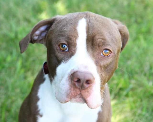 Mac is a sweet 2-year-old Pitbull mix at the shelter in need of a new home.