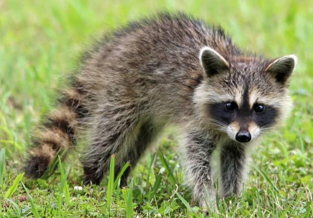The Westchester County Department of Health is alerting residents that a raccoon that was captured after it attacked three people has been confirmed to be rabid.