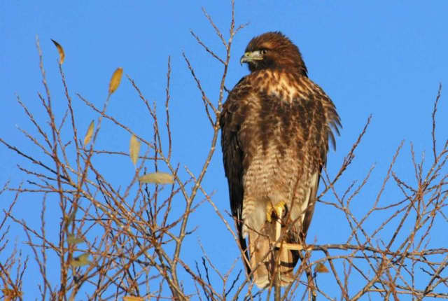 A Long Island man pleaded guilty in federal court this week to capturing and killing red-tail hawks and Cooper's hawks in Stamford in order to protect his pigeons.