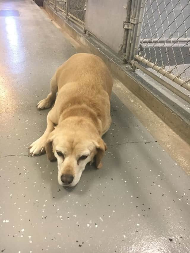 Ridgefield Police are seeking the owner of this lab mix