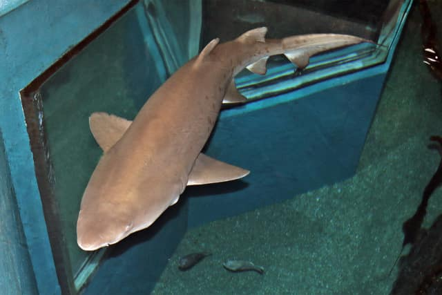 "Sand tiger sharks prowl – and are fed – right below you when you go above the Ocean Beyond the Sound exhibit during the ""Feeding Time"" programs at The Maritime Aquarium at Norwalk."