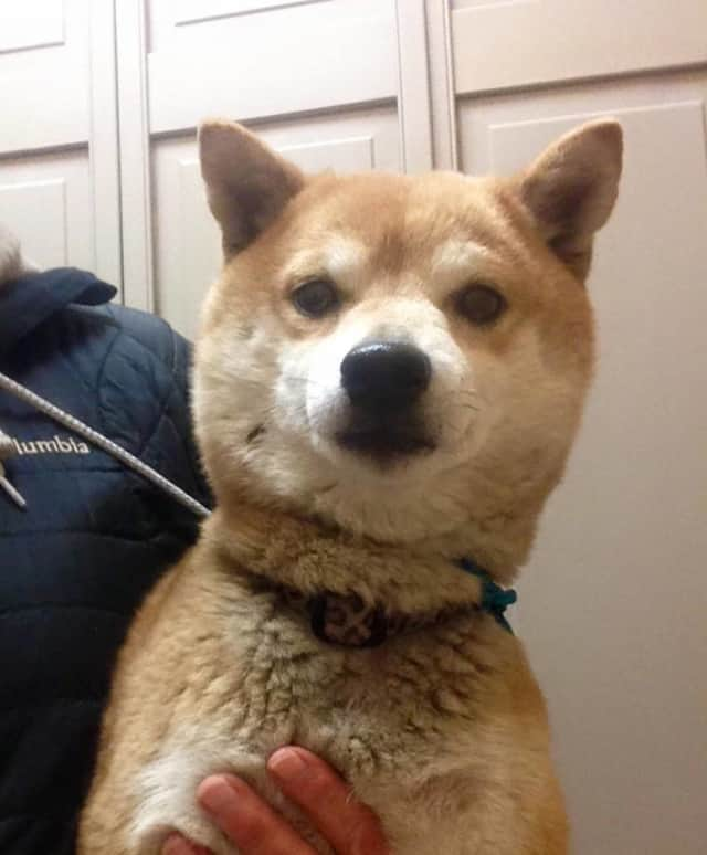 The pictured Shiba Inu was found in Harrison.