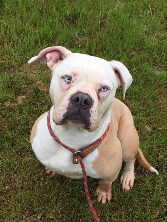 Simone, a pit bull/boxer mix, is looking for a new home.