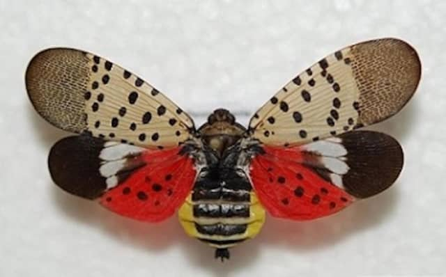 The spotted lanternfly.