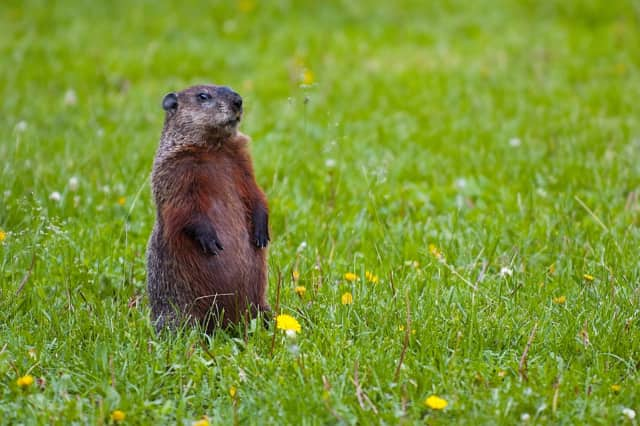 Rensselaer police officers are being investigated for intentionally running down a groundhog.