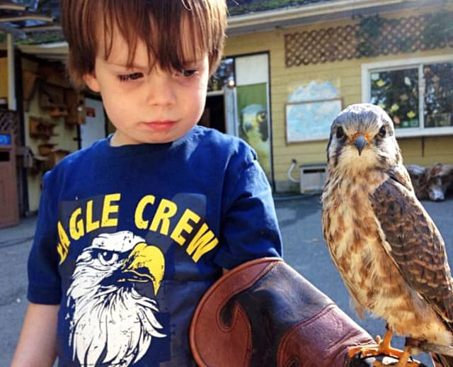 Some get a start on falconry and animal rehabilitation young: this youngster is holding a North American kestrel. Somewhat older New York residents can get falconry and wildlife rehab licenses.