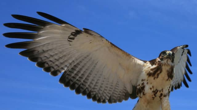 Hawks will be discussed after the business meeting at the Teaneck Creek Conservancy.