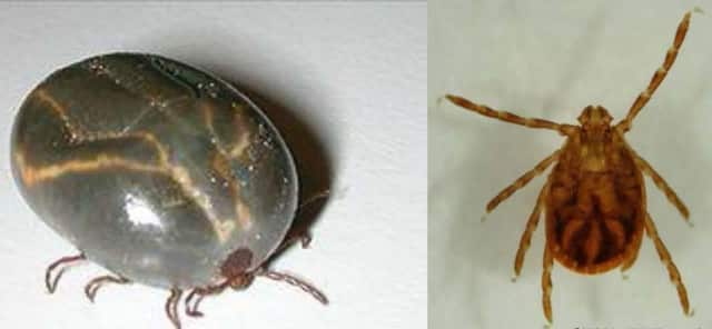 Like deer ticks, the nymphs of the Longhorned tick are very small (resembling tiny spiders) and can easily go unnoticed on animals and people.