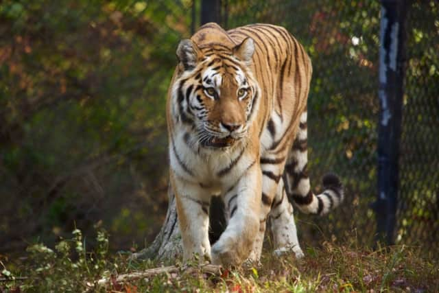 Amur tigers, such as Petya at Beardsley Zoo, are critically endangered in the wild.