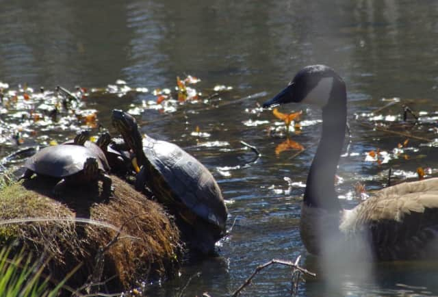 Learn all about turtles during a turtle walk at Yorktown's Sylvan Glen Preserve on Sunday, May 8.