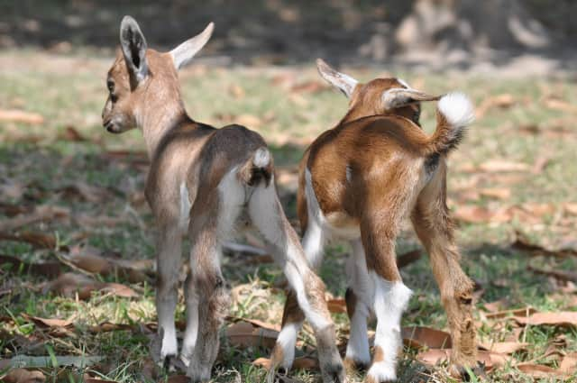 Come meet Hilltop Hanover Farm's baby goats Saturday afternoon.