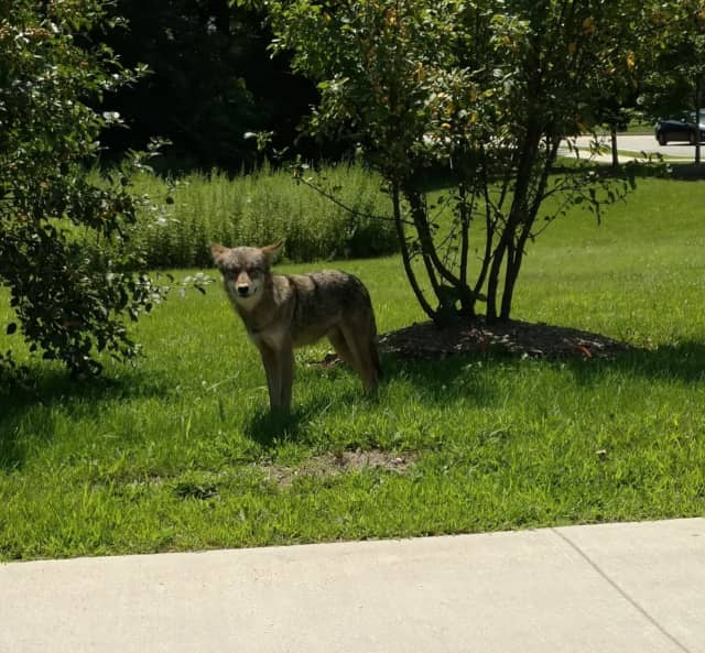This coyote was spotted in the middle of the day on Monday, July 31 in Montrose. There have since been other sightings in Peekskill and Yonkers.