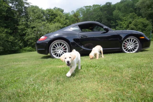 """Puppies & Porsches"" in Danbury will raise money for Guiding Eyes for the Blind."