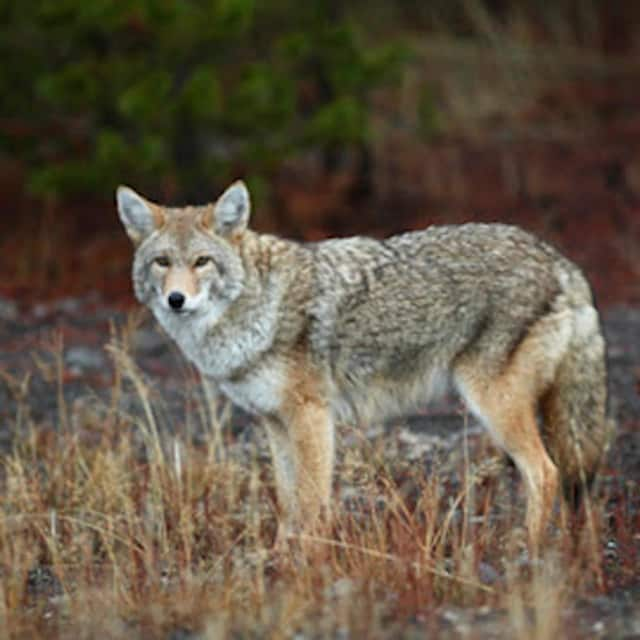 Haworth Police are warning of increased coyote sightings.