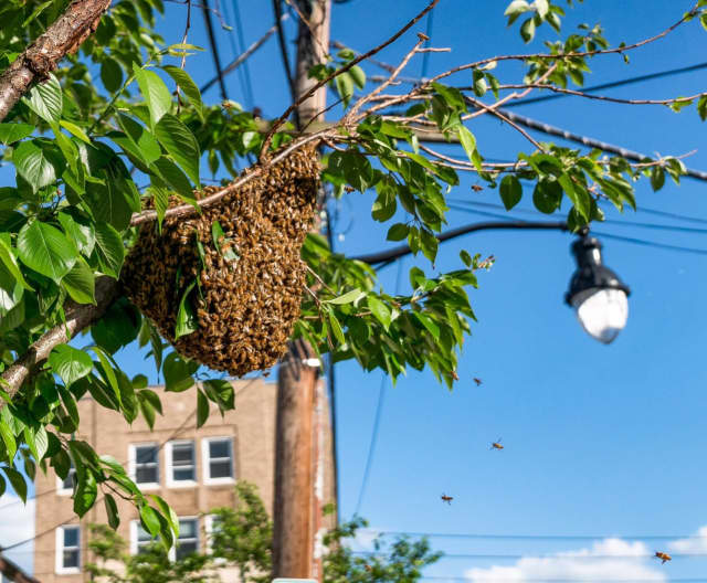 A swarm of bees in Pleasantville