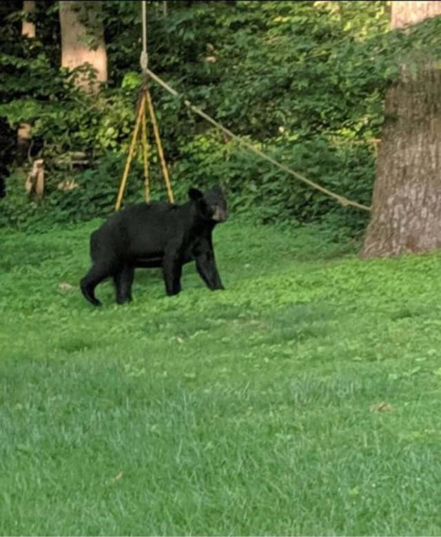 A black bear was spotted in Monroe