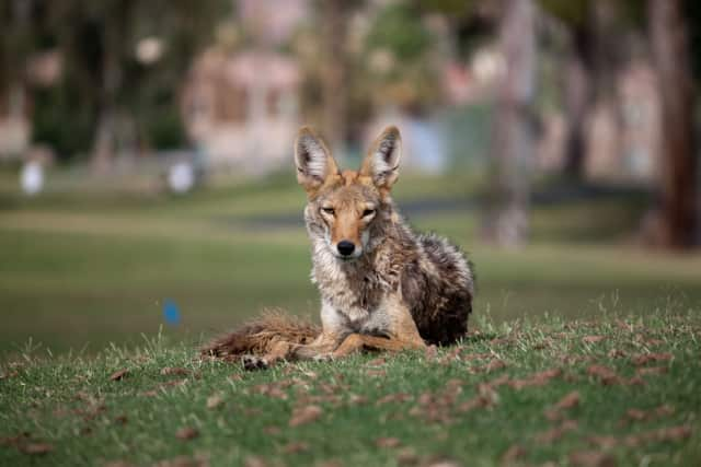 Ossining police are warning residents to be cautious after receiving reports of coyote sightings in two riverside neighborhoods.