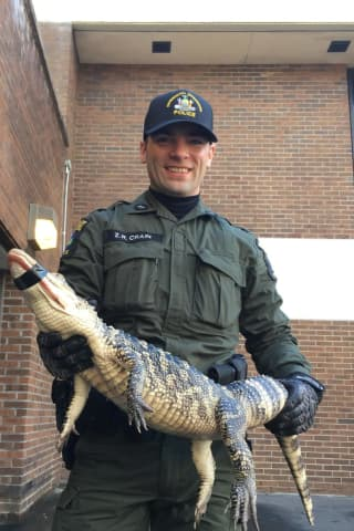 Alligator Found Near Bushes In Hudson Valley Park