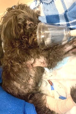 HELP SOUGHT: Poodle Thrown From Car In Paterson Clings To Life, Reward Offered