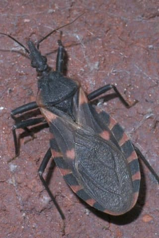 Confirmation Of Girl Bitten On Face By Blood-Sucking 'Kissing Bug' Sparks New CDC Warning